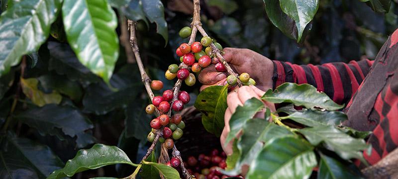 Planta Café Arábica recolección El Aguila del Caribe